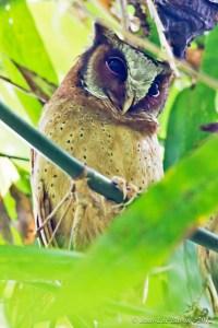 White-fronted Scops-owl Otus sagittatus (VU)