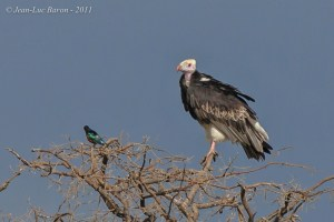 White-headed Vulture Trigonoceps occipitalis