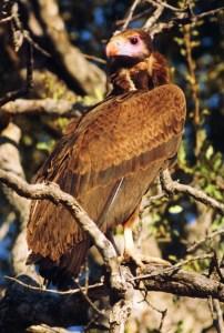 White-headed Vulture, immature