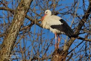 Stork in a Tree - White Stork (Ciconia ciconia)