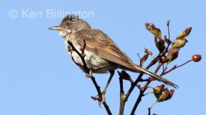 Whitethroat (Sylvia communis) (2)