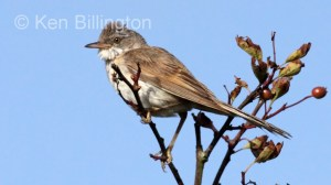 Whitethroat (Sylvia communis) (3)