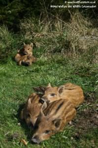 Wild Boar 4