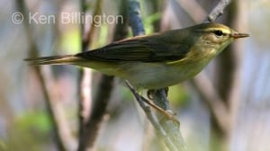 Willow Warbler (Phylloscopus trochilus) (1)