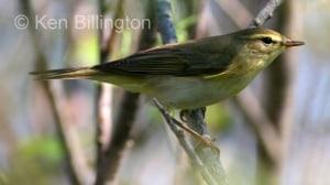 Willow Warbler Phylloscopus trochilus