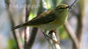 Willow Warbler (Phylloscopus trochilus) (3)