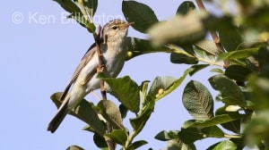 Willow Warbler (Phylloscopus trochilus) (10)