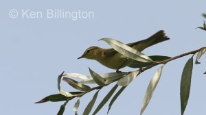 Willow Warbler (Phylloscopus trochilus) (2)