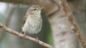 Willow Warbler (Phylloscopus trochilus) (4)