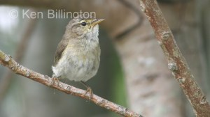 Willow Warbler (Phylloscopus trochilus) (5)