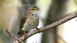 Willow Warbler (Phylloscopus trochilus) (6)