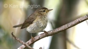 Willow Warbler (Phylloscopus trochilus) (7)