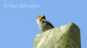 Willow Warbler (Phylloscopus trochilus) (8)