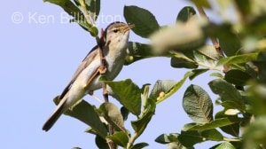 Willow Warbler (Phylloscopus trochilus) (9)