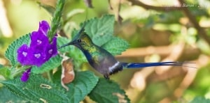 Wire-crested Thorntail Discosura popelairii