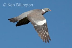 Wood-pigeon Columba palumbus