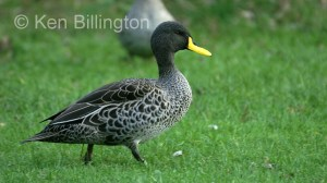 Yellow-billed Duck Anas undulata