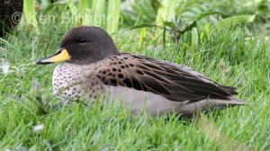 Yellow-billed Pintail Anas georgica