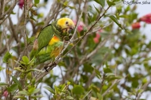 Yellow-faced Parrot Alipiopsitta xanthops
