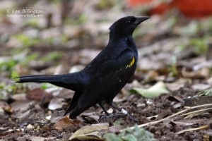 Yellow-shouldered Blackbird (Agelaius xanthomus) (1)
