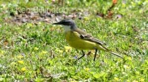 Yellow Wagtail (Motacilla flava) (3)