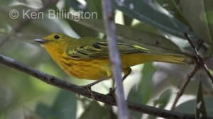 Yellow Warbler (Dendroica petechia) (1)