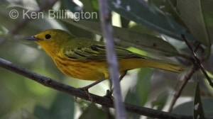 Yellow Warbler (Dendroica petechia) (2)