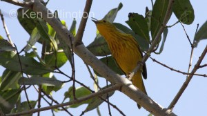 Yellow Warbler (Dendroica petechia) (3)