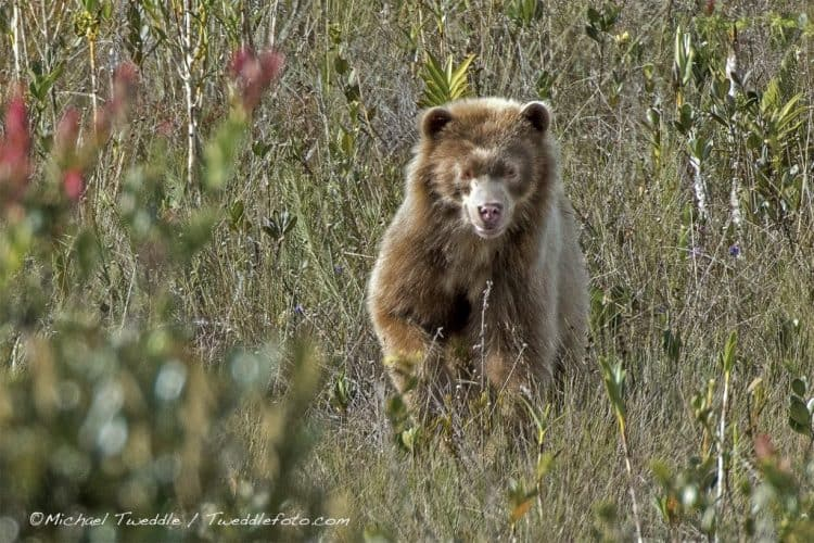 Golden Spectacled Bear (The real Paddington bear)
