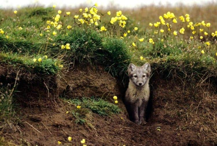 Arctic foxes 'grow' their own gardens