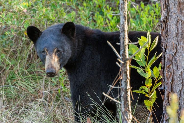 POLL: Should bear hunting in Florida be kept on hold?