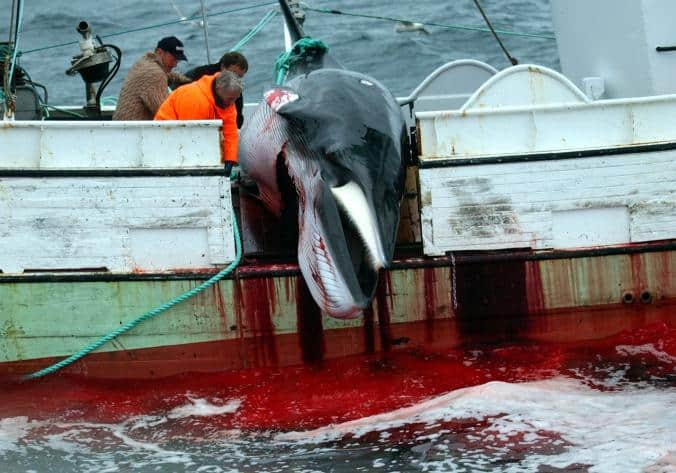 Icelanders Don't Like Whale Meat – So Why the Hunts?