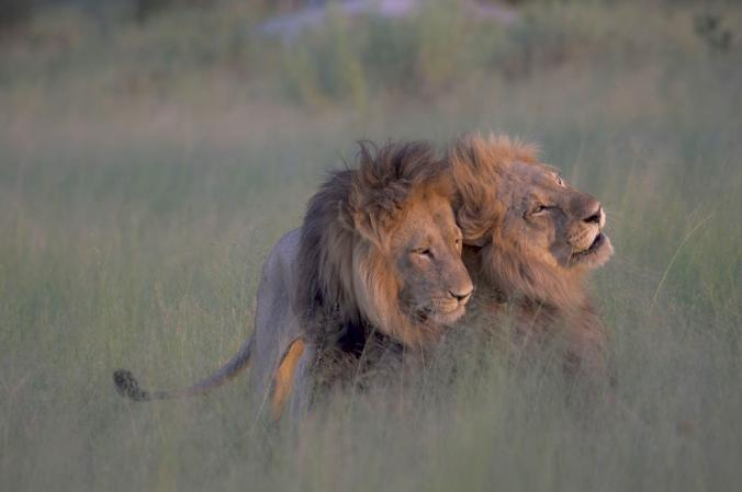 Viral Photos Don't Show Lions Mating, Just Males Bonding