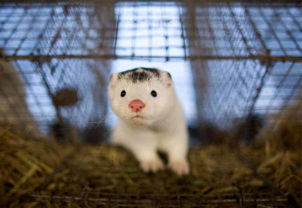POLL: Should there be a worldwide ban on fur farms?