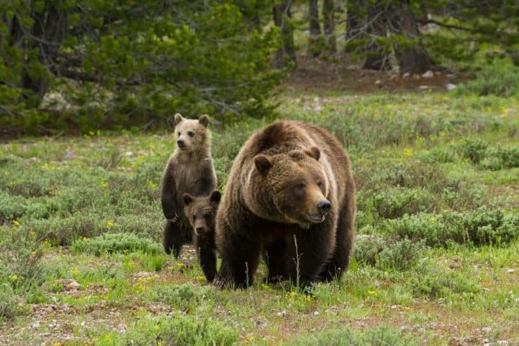"POLL: Should the hunting of ""grizzlies"" in Yellowstone be put on hold?"