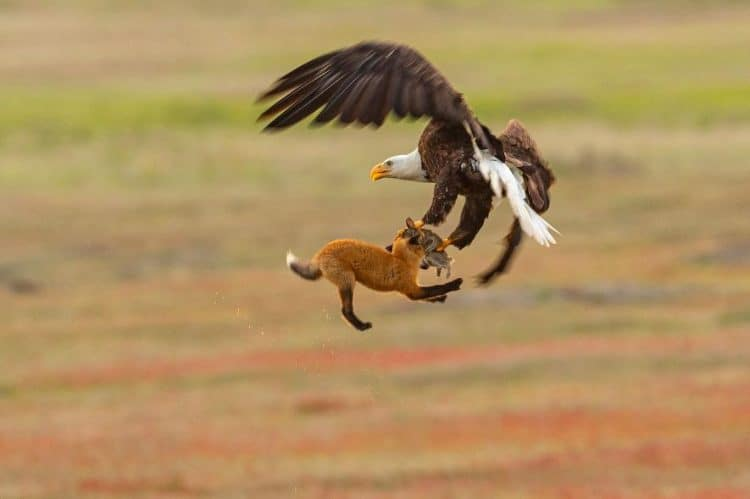 Video: Bald Eagle Steals Dinner From Fox—by Flying Off With Both