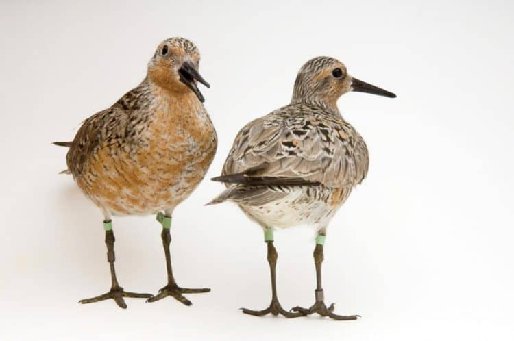 Arctic Warming Is Shrinking This Adorable Shorebird