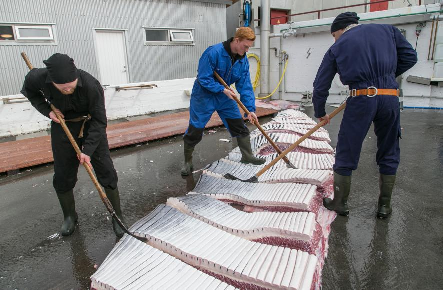 POLL: Should Norway stop the annual slaughter of whales?