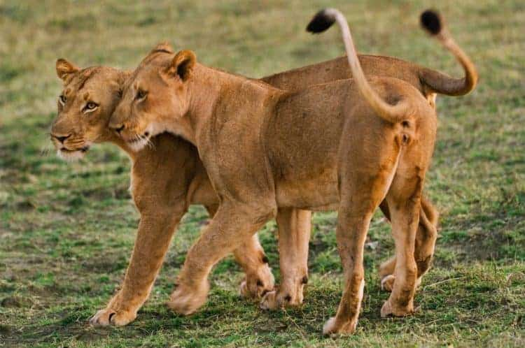 Lions sync when they ovulate – but people don't