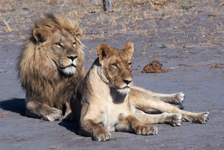 POLL: Should 'canned' lion hunting be banned?