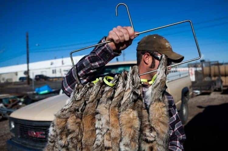 A trapper carries bobcat pelts outside the Nevada Department of Wildlife. The finest quality pelts can fetch upwards of $1,000. Photograph by Max Whittaker, Reveal