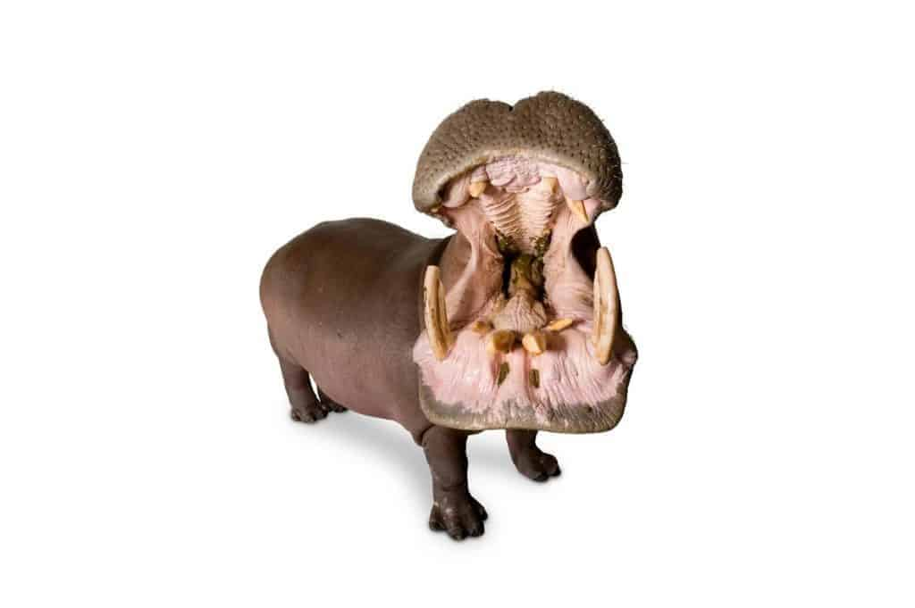POLL: Should the illegal trade in hippo teeth be stopped?