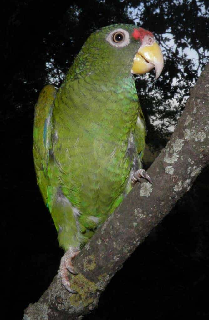 This New Parrot Species Sounds Like a Hawk