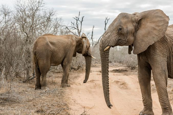 African Elephants On Their Way to U.S. Zoos, Despite Protests