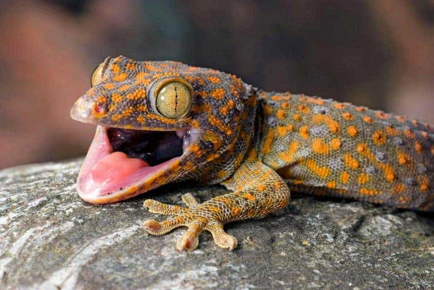 POLL: Should the international trade in geckos be stopped?