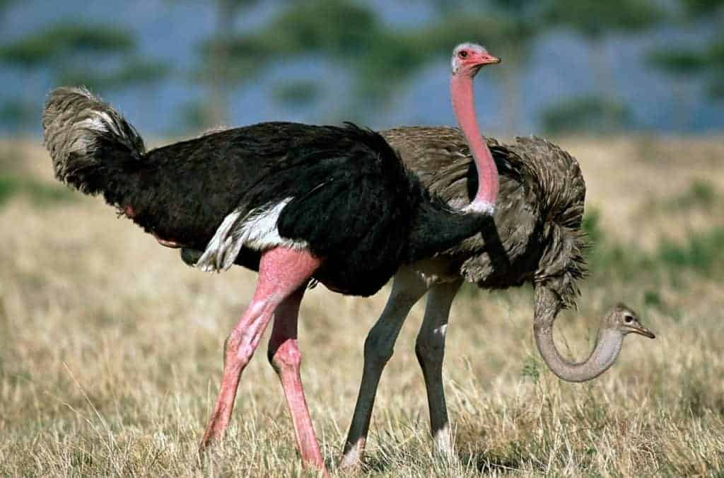 World's biggest birds are stellar dads and unusual lovers