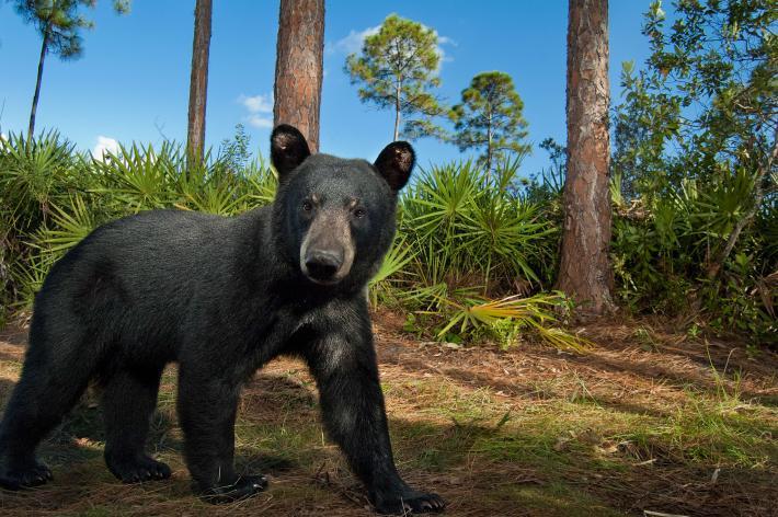 POLL: Is Florida's Bear Hunt Necessary?