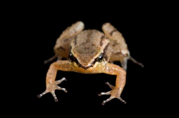 Volcano Could Mean Extinction for the Rocket Frog