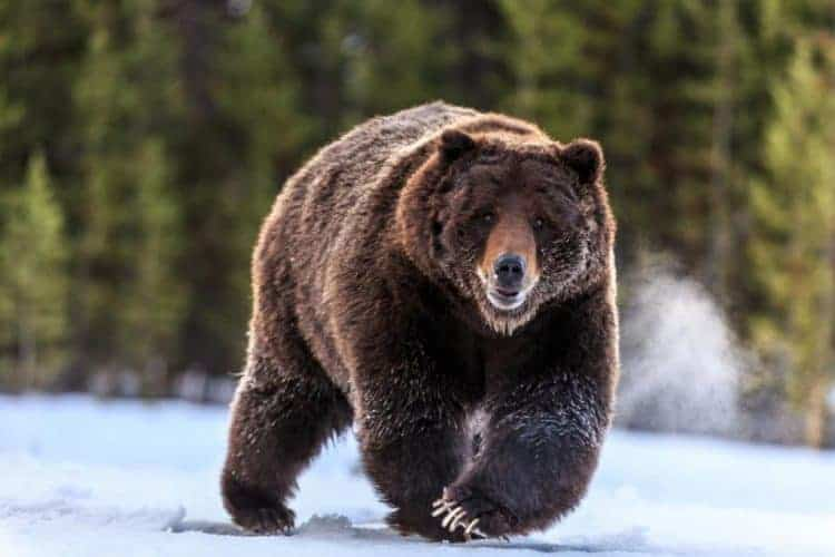 POLL: Should grizzly bears face end of endangered species protection?