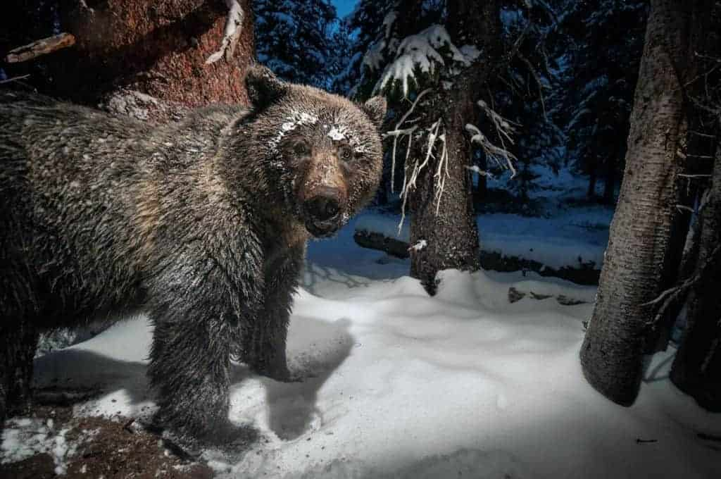 POLL: Should the grizzly bear be taken off the Endangered Species List?